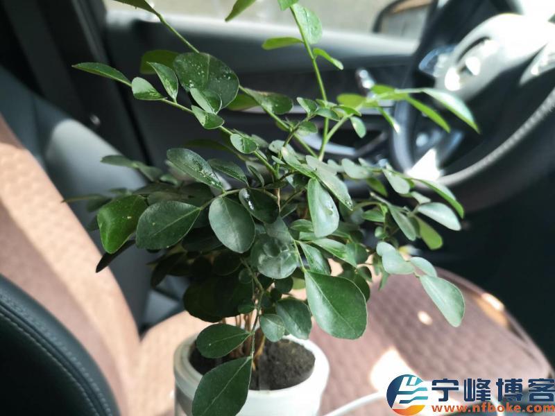 车载盆栽耐高温花卉,九里香